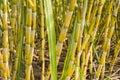Sugarcane plants Royalty Free Stock Photo