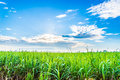 Sugarcane plants grow in field on blue sky an cloud background Stock Photo
