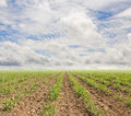 Sugarcane plants grow in field and sky Royalty Free Stock Photo