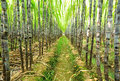 Sugarcane plants growing in field Royalty Free Stock Photography
