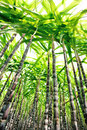 Sugarcane plants growing in field Stock Photo