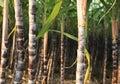 Sugarcane plants growing