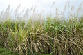 Sugarcane ripened at marayur scientific name is saccharum officinarum unrefined juice from stem is used to manufacture Stock Photos
