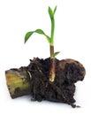 Sugarcane seedling Royalty Free Stock Photo