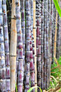 Sugarcane stalks steady with bamboo pole Stock Photo