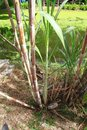 Sugarcane or sugar cane is one of the several species of tall perennial true grasses of the genus saccharum tribe andropogoneae Stock Photography