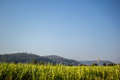Sugarcane, sugarcane, green, sky, blue ocean, mountains, brown. Royalty Free Stock Photo