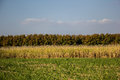 Sugarcane, sugarcane, green, sky, blue ocean, mountains, brown. Royalty Free Stock Photo