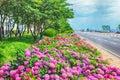 Suguk bigleaf hydrangea blooming in dadaepo, Sahagu, Busan, South Korea, Asia Royalty Free Stock Photo