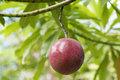 Suicide tree pong pong othalanga on tree in botanic garden medicinal herbs thailand Stock Image