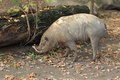 Sulawesi babirusa the adult in the soil Royalty Free Stock Images