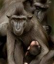 Sulawesi Crested la familia del Macaque Fotografía de archivo libre de regalías