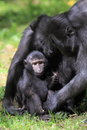 Sulawesi crested macaque Royalty Free Stock Images