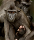 Sulawesi Crested Macaque family Royalty Free Stock Photography