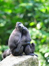 Sulawesi Crested Macaque hugging Royalty Free Stock Images