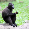 Sulawesi crested macaque monkey a with funny facial expression after tasting the sourness of the orange Stock Photography