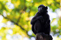 Sulawesi crested macaque sitting on a branch Royalty Free Stock Photo