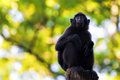 Sulawesi crested macaque sitting on a branch Stock Photo