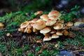 Sulfur tuft mushrooms Royalty Free Stock Images