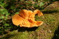 Sulfur-yellow bracket fungus Laetiporus sulphureus Royalty Free Stock Photo