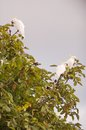 Sulphur crested cockatoo australian native bird the feeding in a walnut tree Royalty Free Stock Image