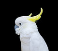 Sulphur crested cockatoo in black background isolation Royalty Free Stock Images