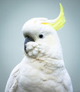 Sulphur crested cockatoo head and shoulders cacatua galerita with feathers fluffed up around the beak Stock Photo