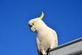 Sulphur crested cockatoo at lorne victoria australia Stock Photo