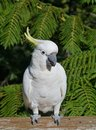 The sulphur crested cockatoo with a yellow crest cacatua galerita is relatively large white in australia Royalty Free Stock Photo