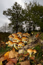 Sulphur tuft also known as clustered woodlover a poisonous mushroom growing on a rotting tree trunk on the heath Royalty Free Stock Images