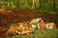 Sulphur tuft or clustered woodlover hypholoma fasciculare in picardy Stock Photo
