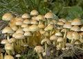Sulphur Tuft Fungi Royalty Free Stock Photo