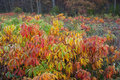 Sumac bushes in fall colors a midwest field of explode with Royalty Free Stock Photo