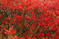 Sumac plants changed red in autumn have their leaves Stock Photo