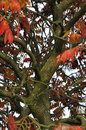 Sumac tree in the autumn Stock Photo