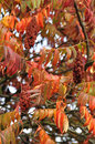 Sumac tree in the autumn Stock Images