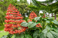 Sumatra flowers red in park Stock Photos