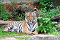 Sumatra tiger (Panthera Tigris Sumatraensis) Royalty Free Stock Photos