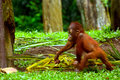 Sumatran orangutan orangutans are living in sumatra the other species of oragnutan is from borneo Royalty Free Stock Photography