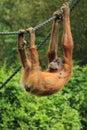 Sumatran orangutan the young on the rope Stock Photo