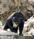 Sumatran Sun Bear Stock Photo