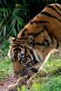 Sumatran Tiger Royalty Free Stock Images