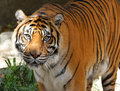 Sumatran Tiger Royalty Free Stock Photo
