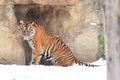 Sumatran tiger Royalty Free Stock Photo