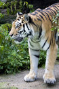 Sumatran tiger Stock Photography