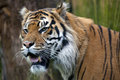 Sumatran tiger close up a side profile Stock Photos
