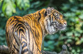 Sumatran tiger critically endangered species with only around left in the wild global day july th this is daseep three year Royalty Free Stock Photos