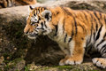 Sumatran Tiger Cub Stock Images