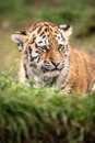 Sumatran Tiger Cub Royalty Free Stock Photos