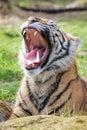 Sumatran Tiger Cub Open Mouth Roaring Royalty Free Stock Photo